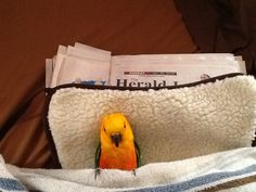 He sleeps on his back in a bed, stays on his blanket all night! Funny Birds, Conure, Sleep, Sun, Blanket, Night, Bags, Animals, Handbags