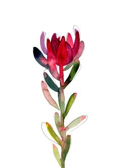 Untitled (Leucadendron) — Natalie Martin 'Leuca' by Natalie Martin Botanical Illustration, Botanical Prints, Illustration Art, Botanical Drawings, Illustrations, Watercolor Flowers, Watercolor Paintings, Watercolours, Protea Art