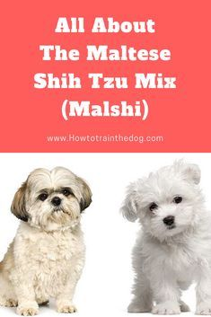 All About The Maltese Shih Tzu Mix Malshi Facts Information