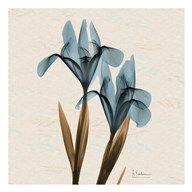 Iris Blue Brown B18  Fine Art Print