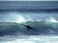 Galapagos Sea Lion, Body Surfing, Galapagos