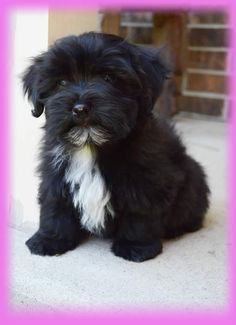 Havanese puppy. I know we're all biased to the dog breeds we grew up with, but I haven't found a sweeter dog. And I've tried, people!