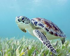 Green sea turtle                                                                                                                                                                                 Mais