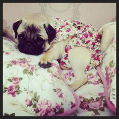 Sweet lil lady pug