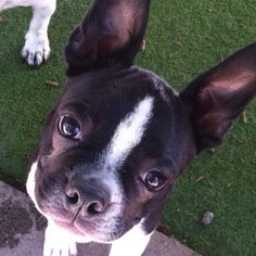 """Can you say cute... Because that's me!"" #Adorable #BostonTerrier #Cuteness #PuppyLove"