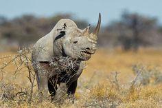 Black Rhino, Wildlife Photography, Fine Art, Nature Photography, Animal Photography, Rob's Wildlife, Epic Wildlife Adventures by RobsWildlife on Etsy https://www.etsy.com/listing/211205669/black-rhino-wildlife-photography-fine
