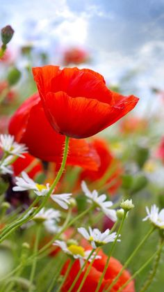 field of flowers . poppies and daisies Meadow Flowers, Wild Flowers, Beautiful Flowers, Beautiful Pictures, Flower Planters, Arte Floral, Flower Pictures, Exotic Flowers, Red Poppies