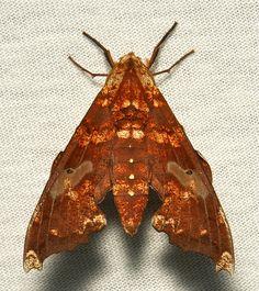 Hawk Moth (Degmaptera mirabilis, Sphingidae), female by itchydogimages, via Flickr