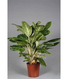Aglaonema king of siam, zware plant
