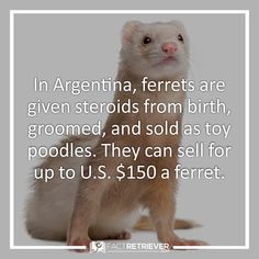 Argentinian ferrets on steroids
