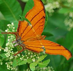 Ruddy Daggerwing... what a thrill to catch a shot of this unusual beauty! by jungle mama, via Flickr