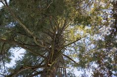 Another great climbing tree, this old evergreen is situated in Logan's garden.