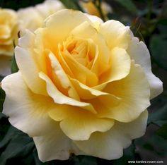 Rose Sunny Sky - Rosa Sunny Sky günstig aus der Baumschule online kaufen