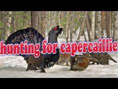 hunting for capercaillie.  Ищем глухариный ток НD