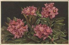 Stehli Postcard - 15 Rhododendron ferrugineum, Rusty-leaved Alpine Rose, Rhododendron ferrugineux, Rostblätrrige Alpenrose