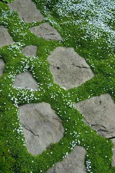 Scotch Moss- needs shade Winters good ground cover. Get some for cottage At Garden Architecture