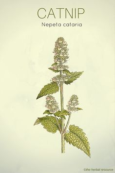 The Herb Catnip (Nepeta cataria)