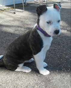 Image Result For Pitbull Husky Mix Pups Pinterest Dogs Husky