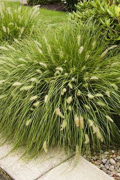 (Pennisetum alopecuroides 'Hameln')'Hameln' fountain grass is a versatile, warm-season groundcover that's a good fit in more naturalistic landscapes. Its oaten cottontails of bloom appear in late summer and act as an excellent foil for fall foliage. Grows up to 30 inches high and wide in Zones 5 to 9.