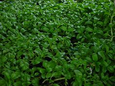 Replace the lawn with Pennyroyal. It repels Fleas and Mozzies. And it's fragrant of  Mint
