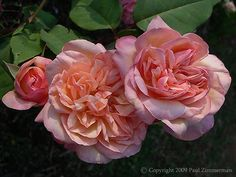 ~Clementina Carboneri Rose.  Bred in Italy 1913. Tea rose with salmon pink shading with yellow undertones. Strong tea fragrance.