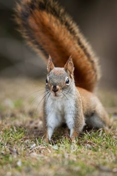 """opisthokonta: """" Red Squirrel (by Justin Lo Photography) Sciurus vulgaris """" Animals Images, Animals And Pets, Animal Pictures, Baby Animals, Cute Animals, Wild Animals, Hamsters, Rodents, Woodland Creatures"""
