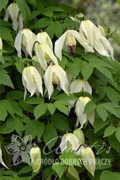 Clematis 'Lemon Beauty'  Clematis alpina - like shade. Group 1 means they flower on last years growth so no need to prune or can do lightly in spring?. Don't like dry roots