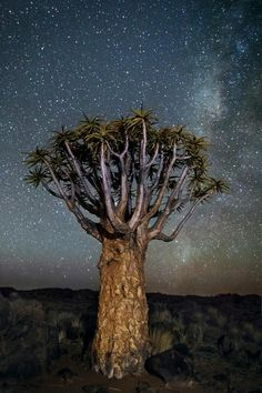 World's oldest trees photographed by Beth Moon hold secrets to the cosmos. Museum Of Modern Art, Museum Of Fine Arts, Cosmos, Art Science Museum, Milky Way Photos, African Diamonds, Louisiana Art, Baobab Tree, Moon Setting