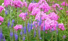 Hier haben sich zwei schöne Partner gefunden: der Wiesen- oder Langblatt-Ehrenpreis (Veronica longifolia) mit der Flammenblume (Phlox paniculata)