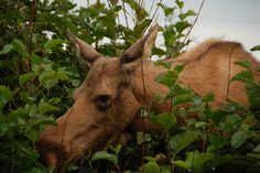 Moose in Alaska