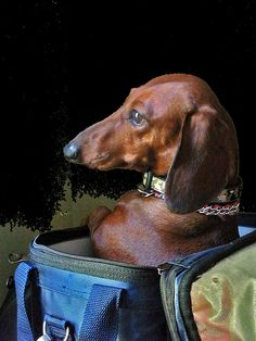 .Rosie contemplating the Great Masters and their Dachshunds.