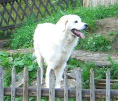 Polish Tatra Sheepdog