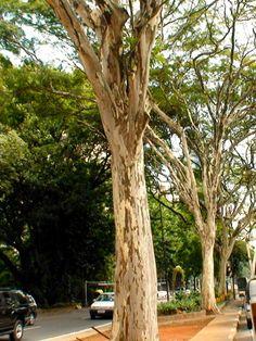 Árvore Pau de Ferro