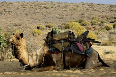 CAMEL SAFARIS are an unique way to explore the beautiful stretches of the Thar Desert. ~~~~~~~~~~~~~~~~~~~~~~~~~~ Visit 10yearitch.com for more India Travel related information #india #travel #rajasthan #safaris