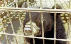 "Mother Bear Kills Cub and Self to Escape Life of Bile ""Milking"""