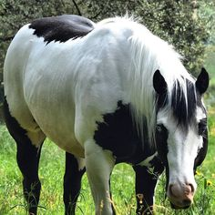 American Paint Horse, Names Of Artists, Black Horses, Horse Photos, Horse Girl, Horse Breeds, Zebras, Beautiful Horses, Friends In Love