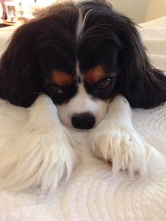 Teddy Bear Visiting My Mother and Daddy (Tricolor Cavalier King Charles Spaniel) March 2014 - EK