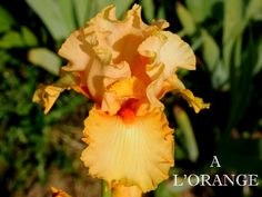TB Iris germanica 'A L'Orange' (Gartman, 1990)
