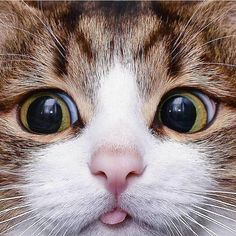 Cute Animals In Australia over Cats Protection Cardiff Kittens; Cute Animals Like Panda wherever Cats And Kittens For Sale Lincolnshire Cute Little Kittens, Cute Cats And Kittens, Kittens Cutest, Kitty Cats, Pet Cats, Siamese Cats, Cats Bus, Kittens Playing, Cute Baby Animals