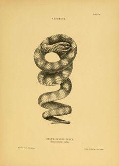 The snakes of Australia Sydney :T. Richards, Government Printer,1869. biodiversitylibrary.org/page/3678171