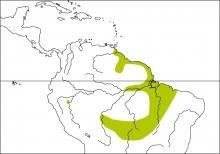 Ashy-headed Greenlet (Hylophilus pectoralis)