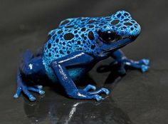 Blue poison frog   Durrell Wildlife Conservation Trust
