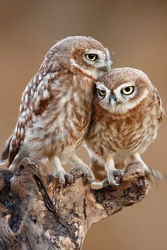Bird Pictures New Zealand Trendy Ideas Baby Owls, Baby Animals, Cute Animals, Owl Photos, Owl Pictures, Beautiful Owl, Animals Beautiful, Owl Bird, Pet Birds