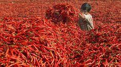 Um menino coloca pimentas vermelhas em uma pilha de fermento em pó em uma fazenda. Ahmedabad, Índia.