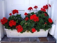 geraniums - can live on the balcony during the warmer months, but stay inside when it gets cold Mini Cactus, Patio, Canning, Green, Plants, Ideas Creativas, Balcony, Live, House