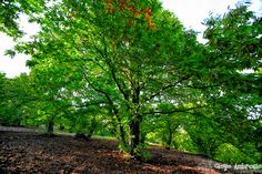 Spanish chesnut trees
