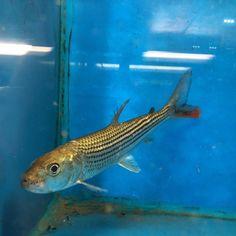 Oddball tropical fish for sale online. Freshwater Fish For Sale, African Tiger, Tiger Fish, Fish List, Live Aquarium Fish, Monster Fishing, Beautiful Fish, Tropical Fish, Pisces