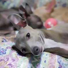 Italian Greyhounds Dog Puppy Dogs Puppies Galgo italiano