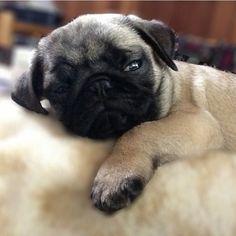 Sleepy baby pug