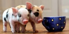 "I recognize ""Teacup Pigs"" eventually grow to be 100-200 pound regular pigs, but OMG... How freaking cute are the babies?!?"